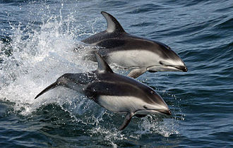 Pacific white-sided dolphin - Image: Pacific white sided dolphins (Lagenorhynchus obliquidens) NOAA