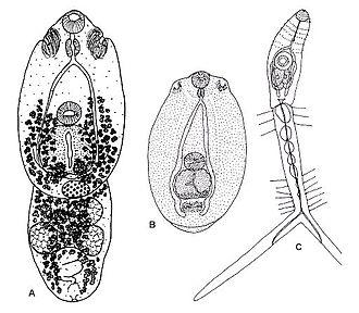 Diplostomida - Diplostomum petromyzifluviatilis, in the family Diplostomidae