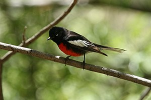 Painted Redstart.jpg