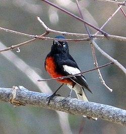 Painted redstart. Myioborus pictus (2) - Flickr - gailhampshire.jpg