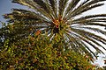 Palm Tree (5038315093).jpg