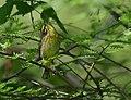 Palm Warbler (34191894371).jpg