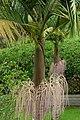 Palma de Cunningham (Archontophoenix cunninghamiana) (14650138833).jpg