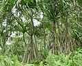 Pandanus thomensis à Ribeira Peixe (São Tomé) (1).jpg