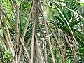 Pandanus thomensis à Ribeira Peixe (São Tomé) (4).jpg