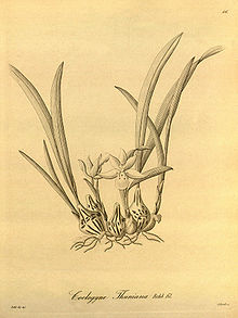 Panisea uniflora (as Coelogyne thuniana) - Xenia vol 1 pl 46 (1858).jpg