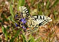 Papallones de casa meva - Papallona rei - Papilio machaon (5166332356).jpg