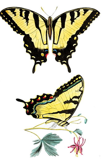 Thomas Say - Papilio turnus (= Papilio glaucus), from 'American Entomology'