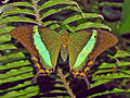 Papilio palinurus (4).JPG