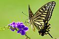Papilio xuthus 20130804.jpg