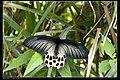 Papilionidae (10779642005).jpg