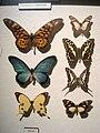 Papilionidae - Oslo Zoological Museum - IMG 9085.jpg