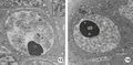 Parasite160001-fig4 - Oogenesis in Crepidostomum metoecus (Digenea) TEM.png