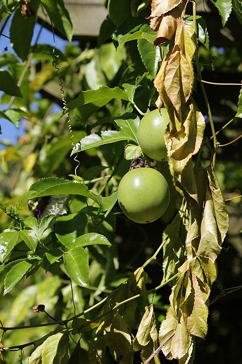 500px passiflora edulis m03