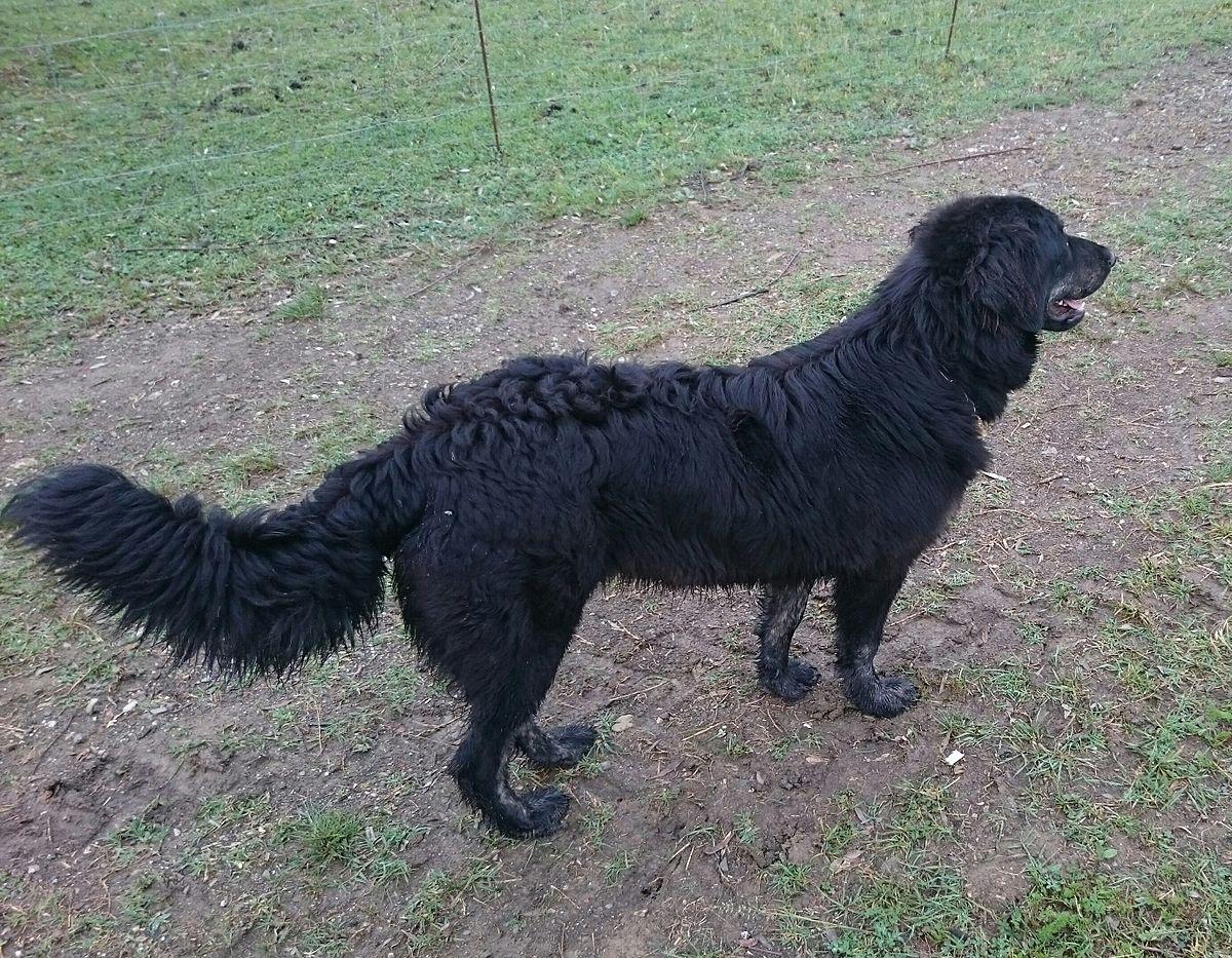 cane da pastore silano - wikipedia