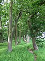 Path through the Oak Trees, Shropshire - geograph.org.uk - 456595.jpg