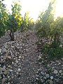 Pauillac - château Latour - pebbles and vineyard.jpg
