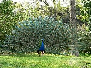 Venta de pavorreales en puebla - Fotos de un pavo real ...