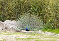Pavo real común (Pavo cristatus), Tierpark Hellabrunn, Múnich, Alemania, 2012-06-17, DD 01.JPG