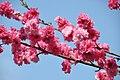 Peach flowers(Koganei Park) - Flickr - kanegen.jpg