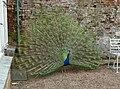Peacock displaying, Arlington - geograph.org.uk - 1825171.jpg