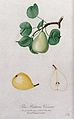Pear (Pyrus species); fruiting branch with sections of fruit Wellcome V0043138.jpg