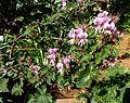Pelargonium cordifolium, a, Pretoria NBT.jpg