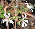 Pelargonium odoratissimum 01.jpg