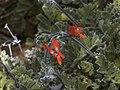 Pelargonium sp2.JPG