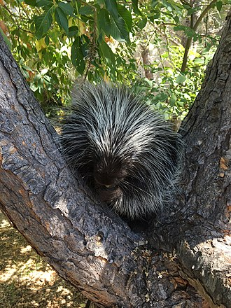 Lindsay Wildlife Experience - Penelope, Lindsay Wildlife Experience's resident North American porcupine