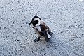 Penguins at Boulders Beach, Cape Town (19).jpg