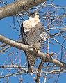 Peregrine falcon in CP (40987).jpg