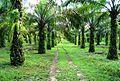 Perkebunan kelapa sawit milik rakyat (1).JPG