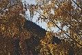 PermaLiv Høstbjørk med høstfarger i Totenvika 29-10-20 3.jpg