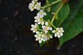 Persicaria chinensis - Chinese Knotweed (5039919316).jpg