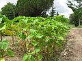 Persicaria orientalis - Talence (2).jpg