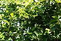 Persimmon 2 2013-07-14.jpg