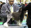 Petit chien lion in Riga 3.JPG