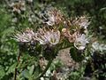 Phacelia californica.jpg