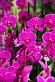 Phalaenopsis Lila Fee - Internationale Orchideen- und Tillandsienschau Blumengärten Hirschstetten 2016 b.jpg