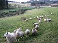 Philiphaugh sheep - geograph.org.uk - 627289.jpg