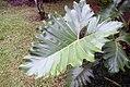 Philodendron Wilsonii 1zz.jpg