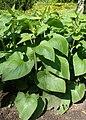 Phlomis russeliana kz02.jpg