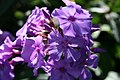 Phlox paniculata Blue Paradise 0zz.jpg