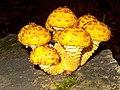 Pholiota aurivella1.jpg