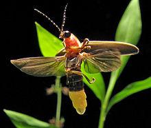Photinus pyralis Firefly 4.jpg