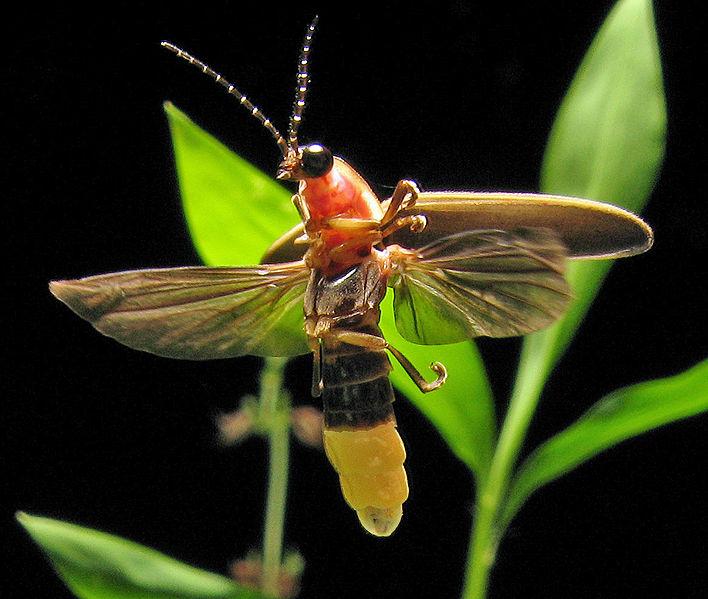 Illumination Stone Firefly