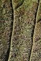 Phyllactinia guttata (38526680586).jpg
