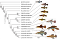 Phylogenetic relationships among 13 taxa of the Cynopoecilini and four out-group taxa.PNG