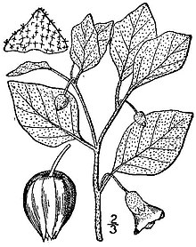 Physalis viscosa BB-1913.jpg